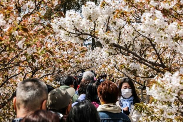 Świątynia Ninna-ji kwitnące wiśnie