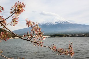 Wulkan Fuji kwitnące wiśnie