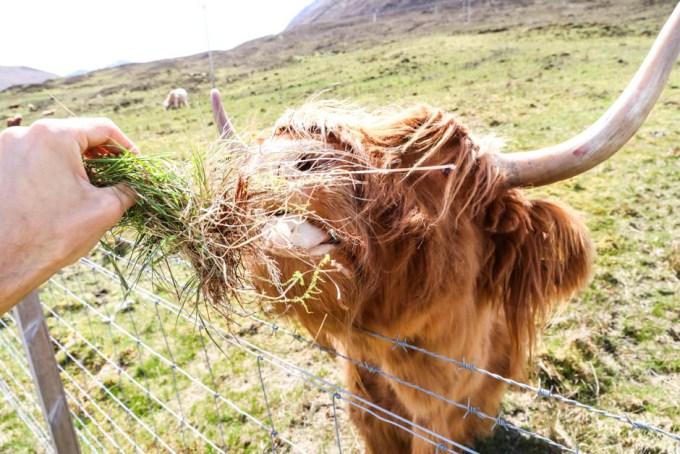 Highland Cow karmienie