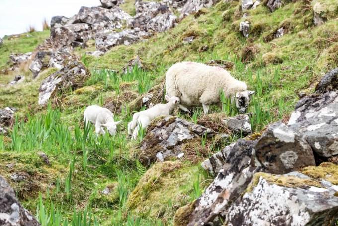 Owieczki Skye