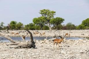 Safari w PN Etosha 2