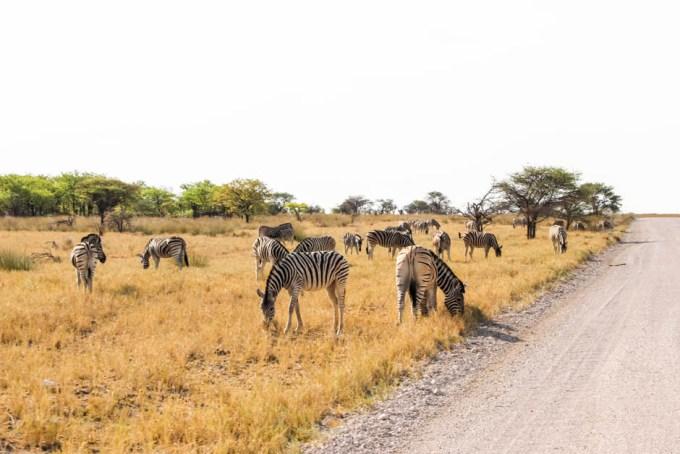 Safari w PN Etosha Namibia zebry