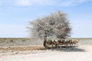 Safari w PN Etosha antylopy pod drzewem