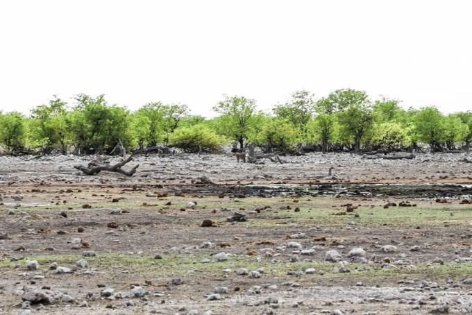 Safari w PN Etosha lampard