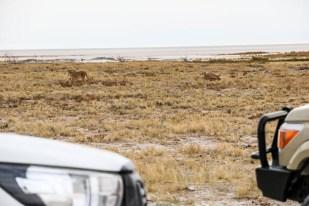 Safari w PN Etosha lwy 3