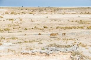 Safari w PN Etosha lwy przy oczku