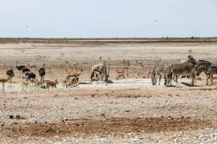 Safari w PN Etosha oczko blisko Okaukejo