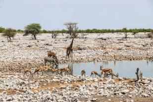 Safari w PN Etosha oczko w Okaukejo