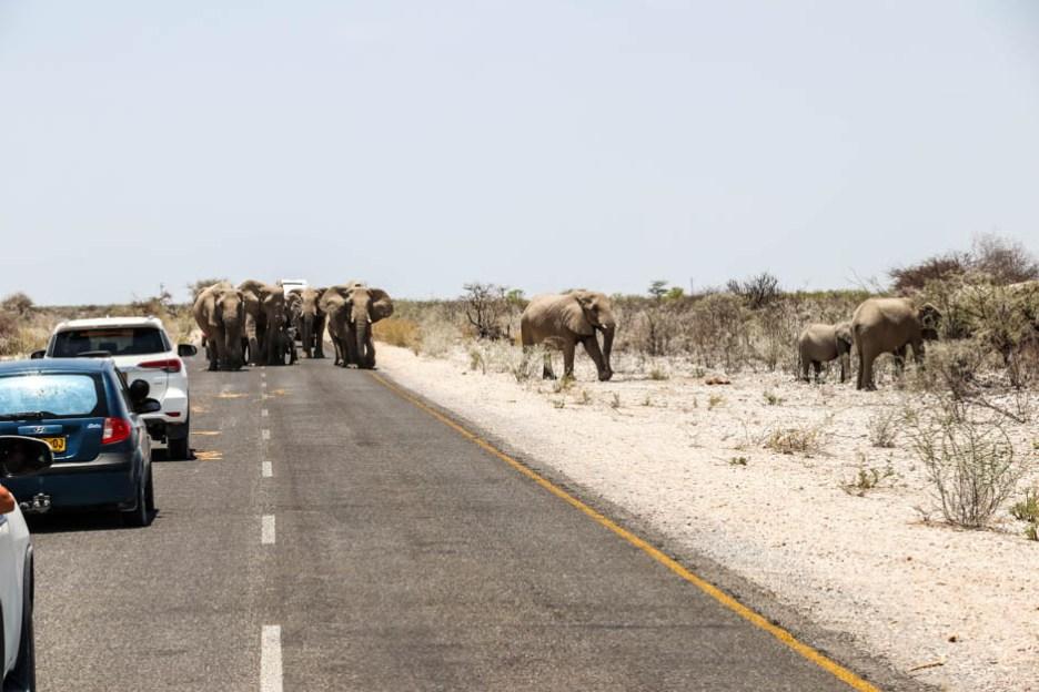 Safari w PN Etosha słonie tarasują drogę