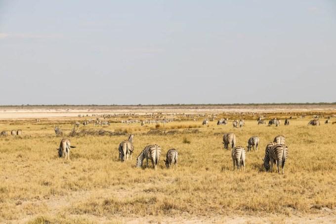 Safari w PN Etosha stado zebr