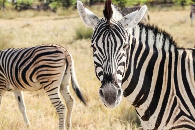 Safari w PN Etosha zebra z bliska