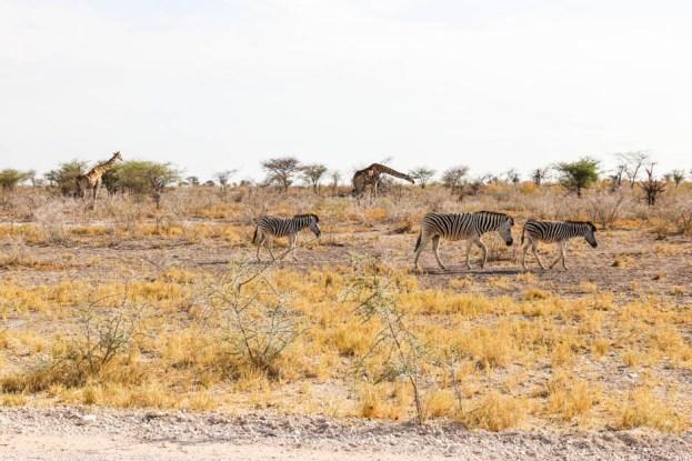 Safari w PN Etosha zebry i żyrafy