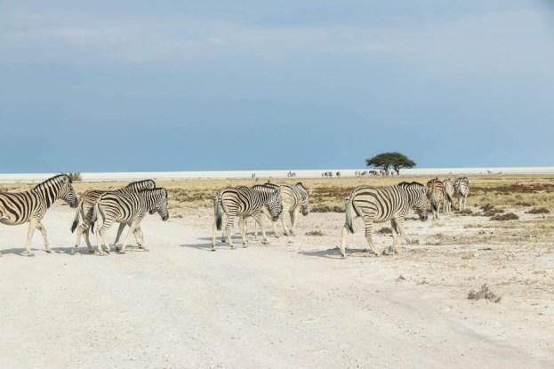 Safari w PN Etosha zebry przechodzą przez drogę