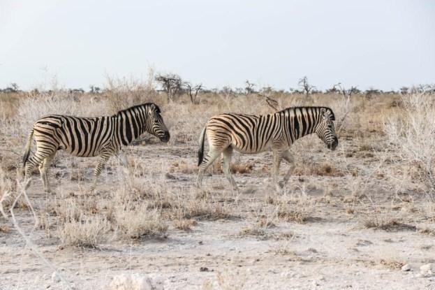 Safari w PN Etosha zebry