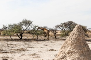 Safari w PN Etosha żyrafa termity