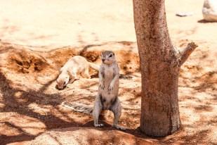 Wiewiórka Solitaire