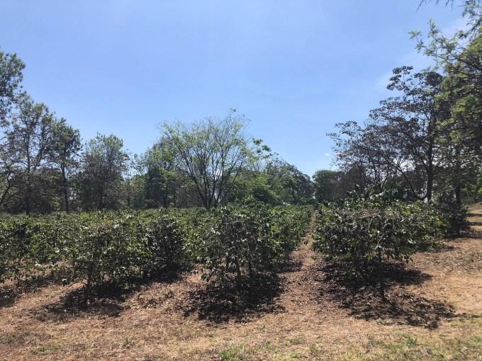 Tanzania Moshi plantacja kawy