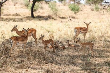 Tanzania PN Tarangire antylopy