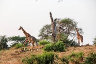 Tanzania PN Tarangire duzo zyraf