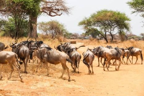 Tanzania PN Tarangire gnu na drodze