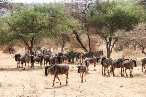 Tanzania PN Tarangire gnu