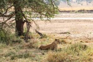 Tanzania PN Tarangire lew