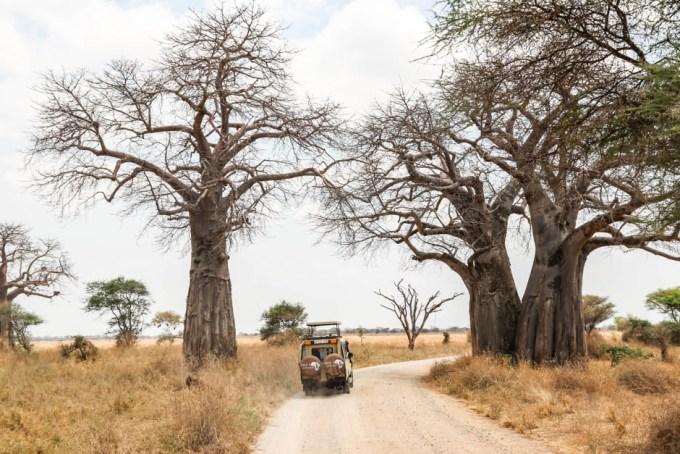 Tanzania PN Tarangire ogromne baobaby