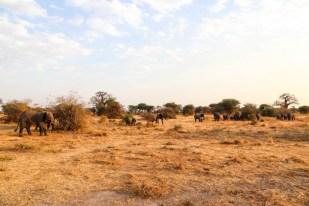 Tanzania PN Tarangire stado sloni