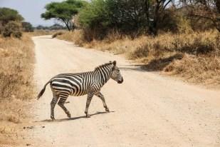 Tanzania PN Tarangire zebra