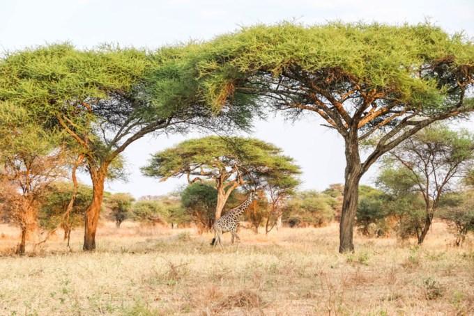Tanzania PN Tarangire zyrafa akacje