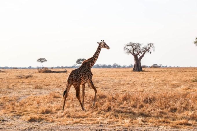 Tanzania PN Tarangire zyrafa sawanna