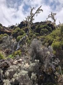 Trekking Kili wrzosowiska