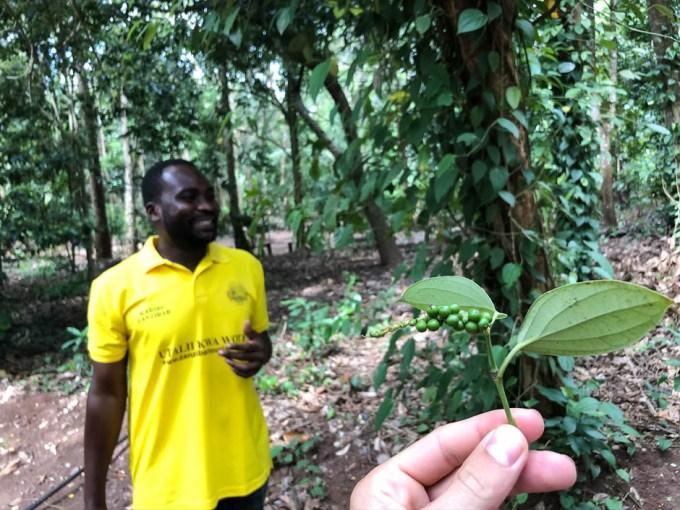 Zanzibar plantacja przypryw