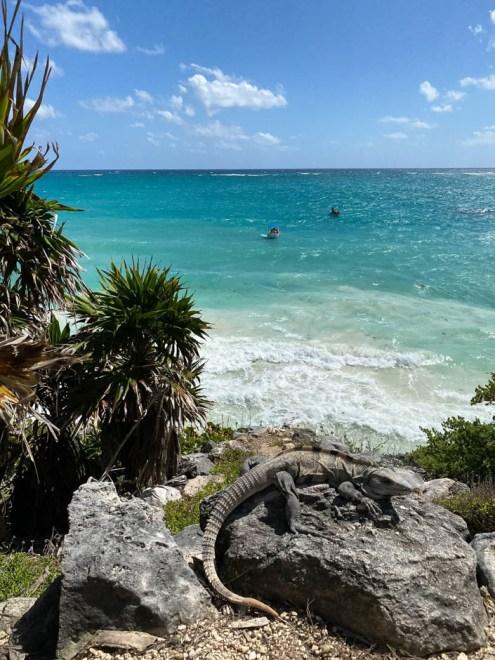 Tulum Meksyk iguana i morze