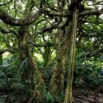 鸞山部落會走路的樹