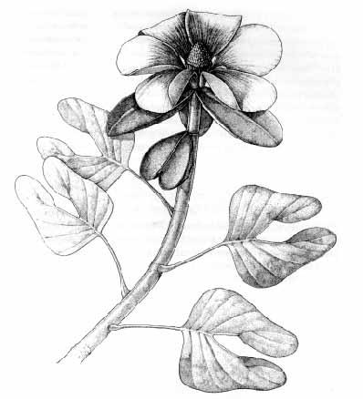 Afbeeldingsresultaat voor fossiel van de Archaeanthus