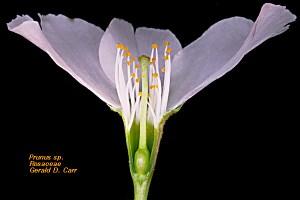 Rosaceae2