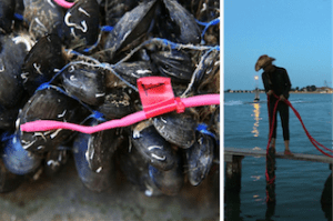 Mussels on the East River in New York used for tracking water quality.