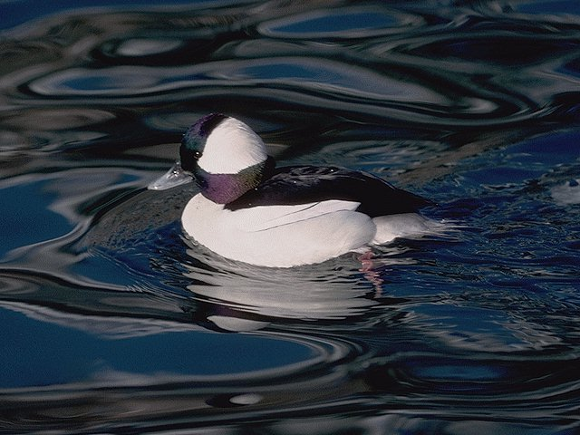 Photo from https://i1.wp.com/www2.puc.edu/Faculty/Bryan_Ness/images/Bufflehead.jpg