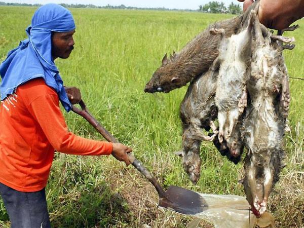 N. Ecija farmers rid ricefields of rats