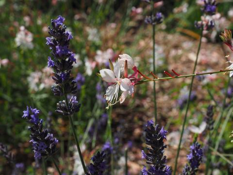 The white and pink flower is a Whirling Butterfly.