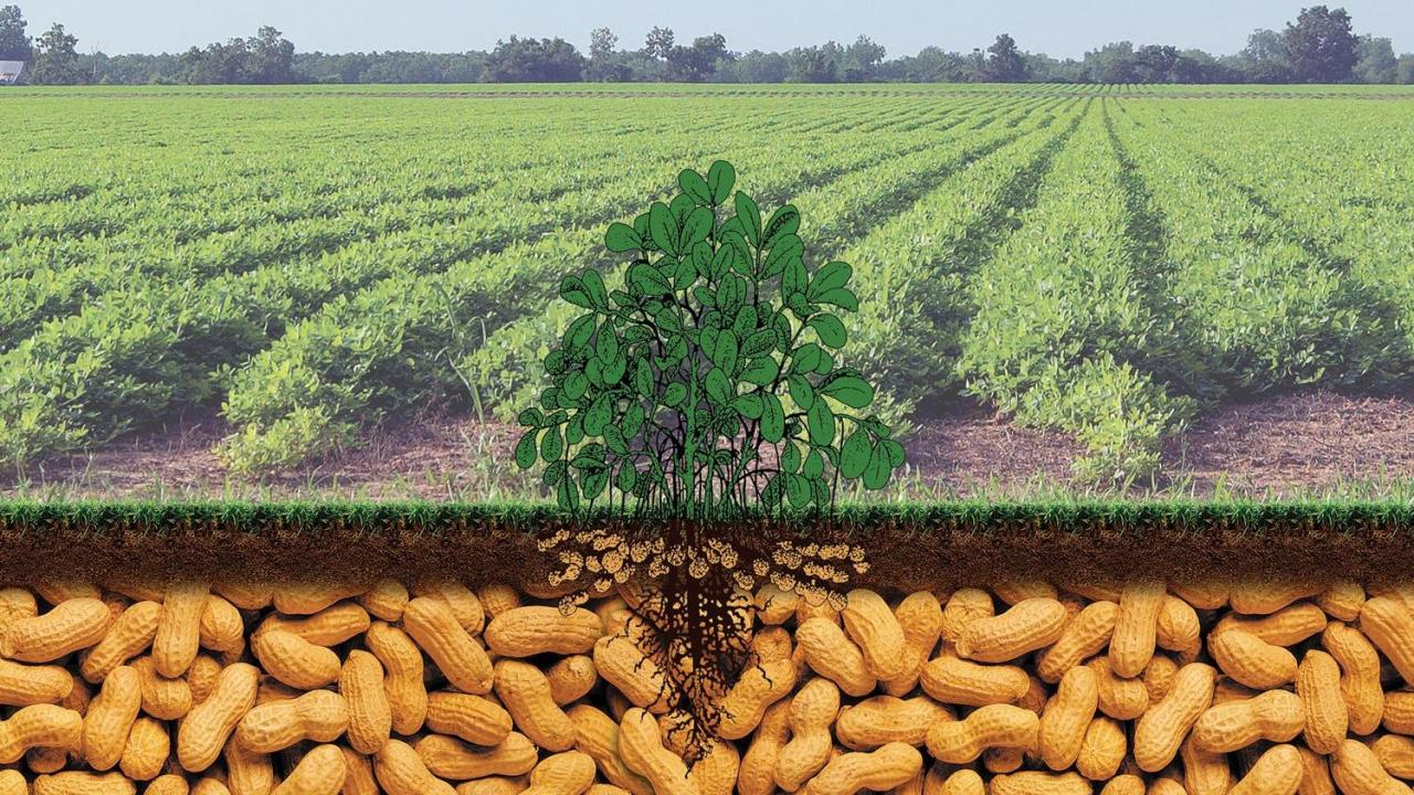 Peanuts Provide A Sustainable Future For Farmers Wral Com