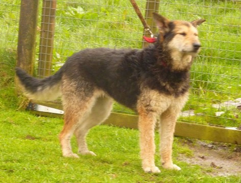 Lizzie 6 Year Old Female Airedale Terrier Cross Dog For