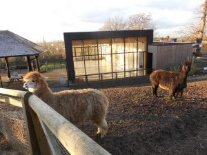 Alpacas at the Horniman Museum