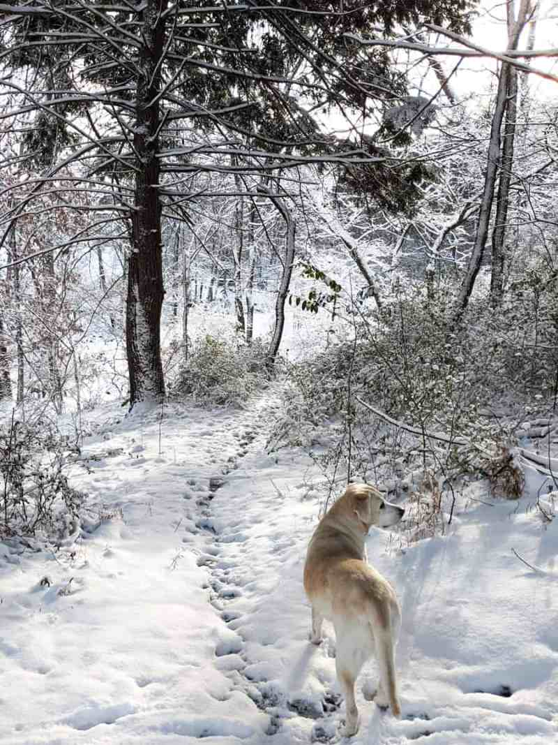 white lab in snow covered woods