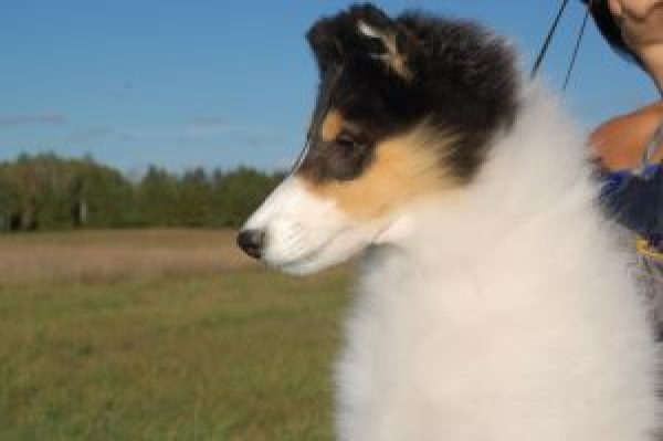White Rough Collie Puppy