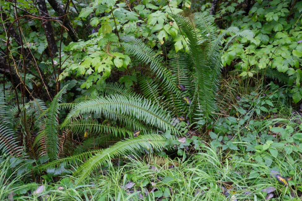 Big roadside ferns