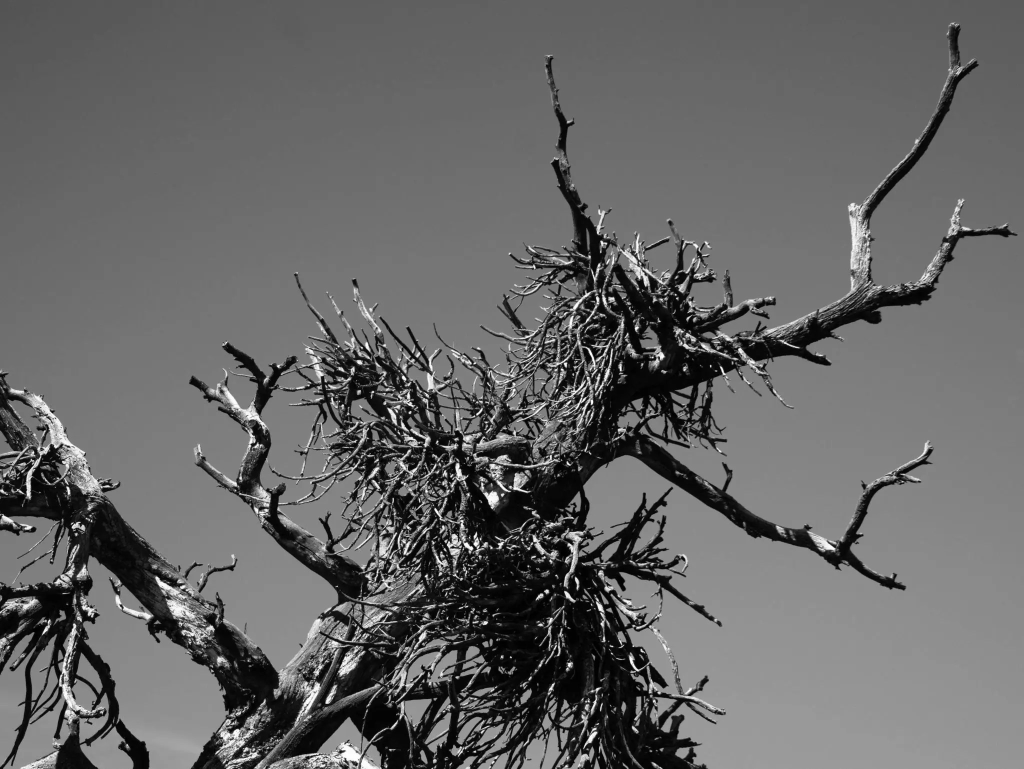 Witch's broom, an infection by dwarf mistletoe on limber pines.
