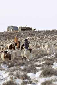"""Sheepherders move sheep on Shaun Sims' ranch. Should the new H-2A rules go into effect, traditional sheep grazing would """"cease to exist — instantly,"""" Sims said. (Courtesy Lacee Sims)"""