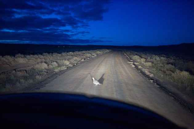 Greater sage grouse, like this one near a gas field, are akin to a deer in the headlights, requiring human benevolance to stay alive. Oil and gas interests, conservationists, Gov. Matt Mead and the BLM each have different ideas on how much protection the species requires and what activities need to be curtailed. (Angus M. Thuermer Jr./WyoFile)